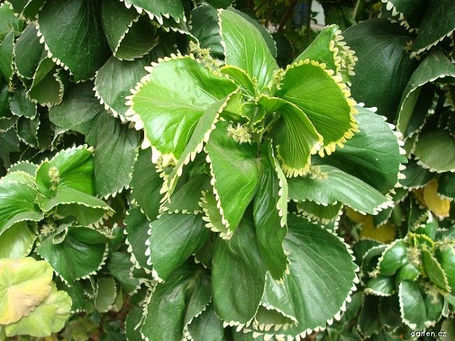 Palnice (Acalypha wilkesiana var circinata)