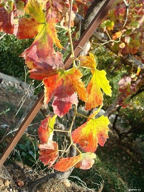 Réva vinná (Vitis vinifera)