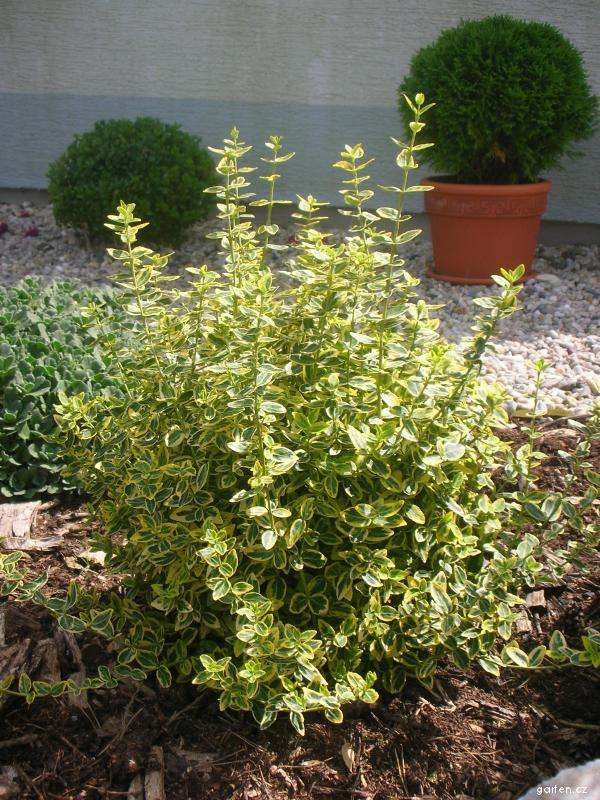 Brslen (Euonymus fortunei)