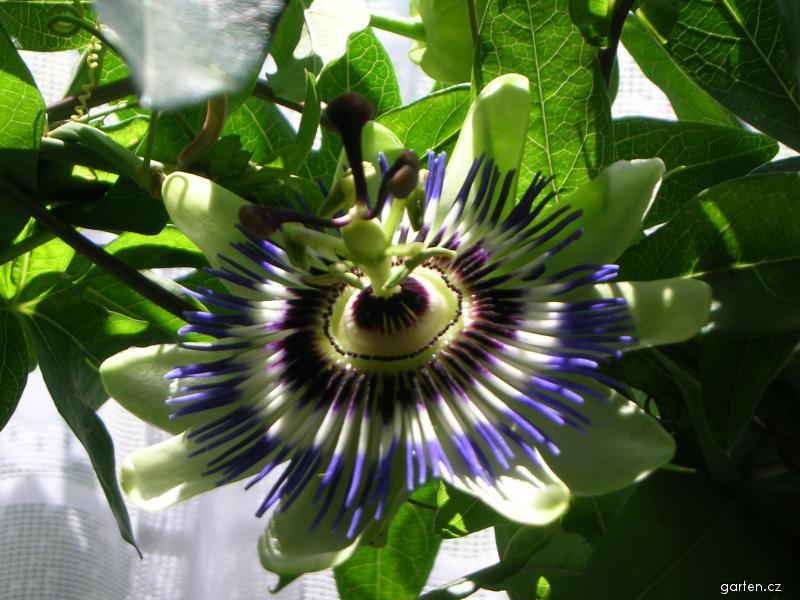 Mučenka (Passiflora)