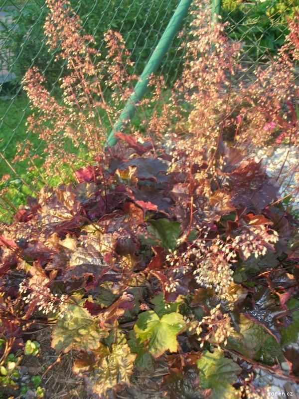 Dlužicha (Heuchera x hybrida)