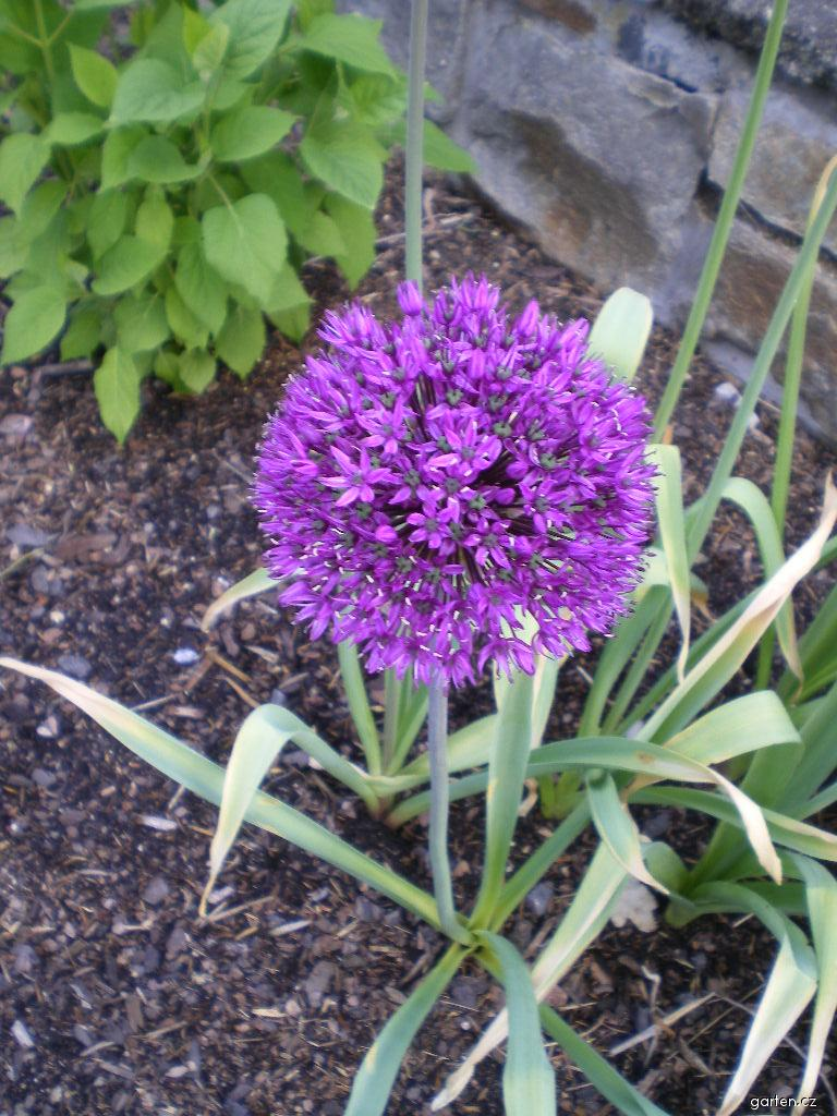 Okrasný česnek - detail (Allium latifolium)