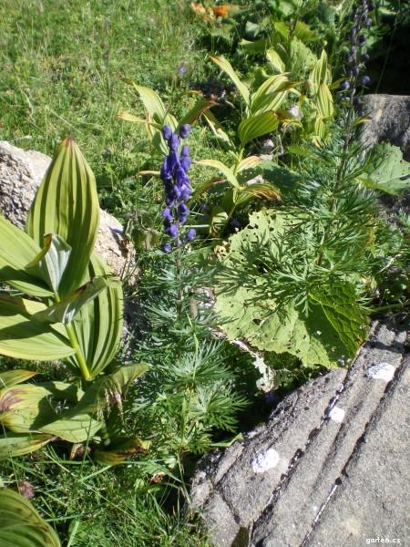 Oměj šalamounek (Aconitum plicatum)