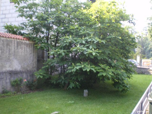 Magnolie trojplátečná - celkový pohled (Magnolia tripetala)