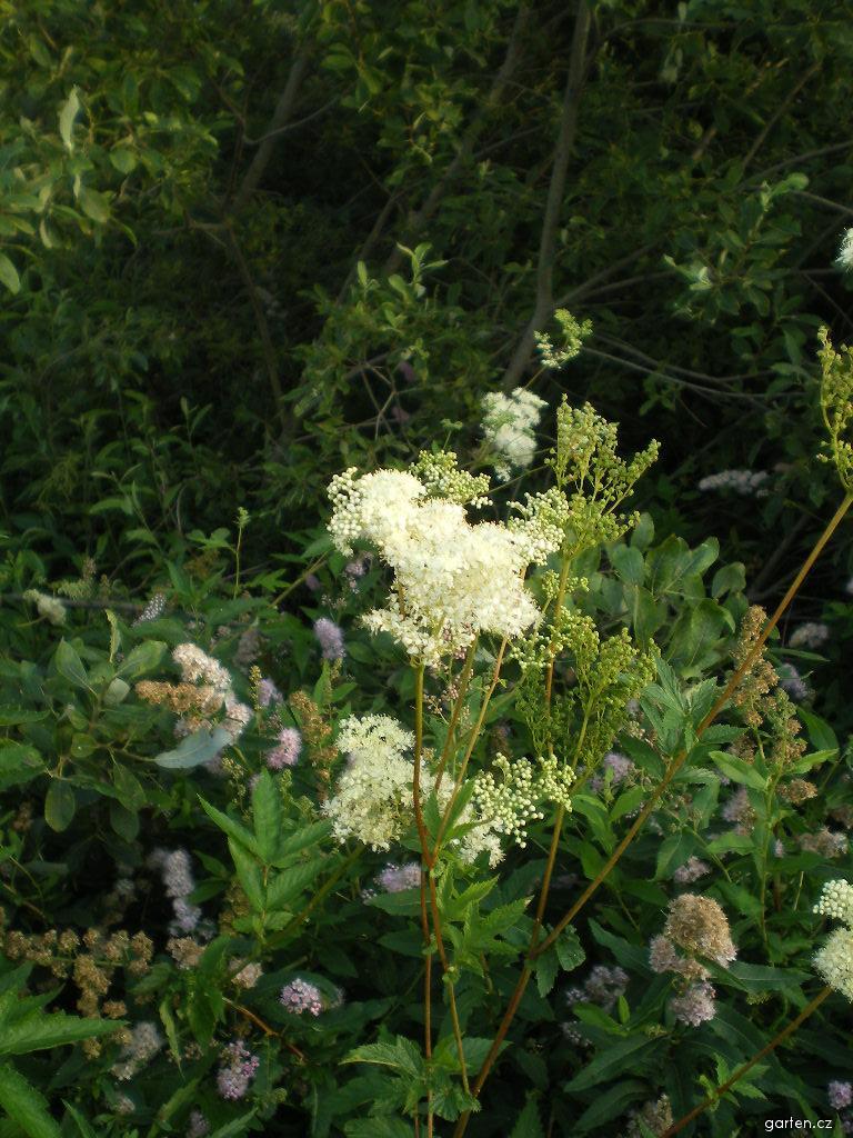Filipendula ulmaria - tužebník jilmový