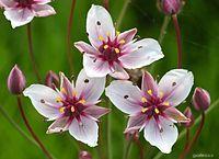 Šmel okoličnatý - detail květu (Butomus umbellatus)