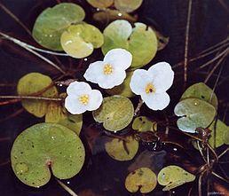 Voďanka žabí (Hydrocharis morsusranae)