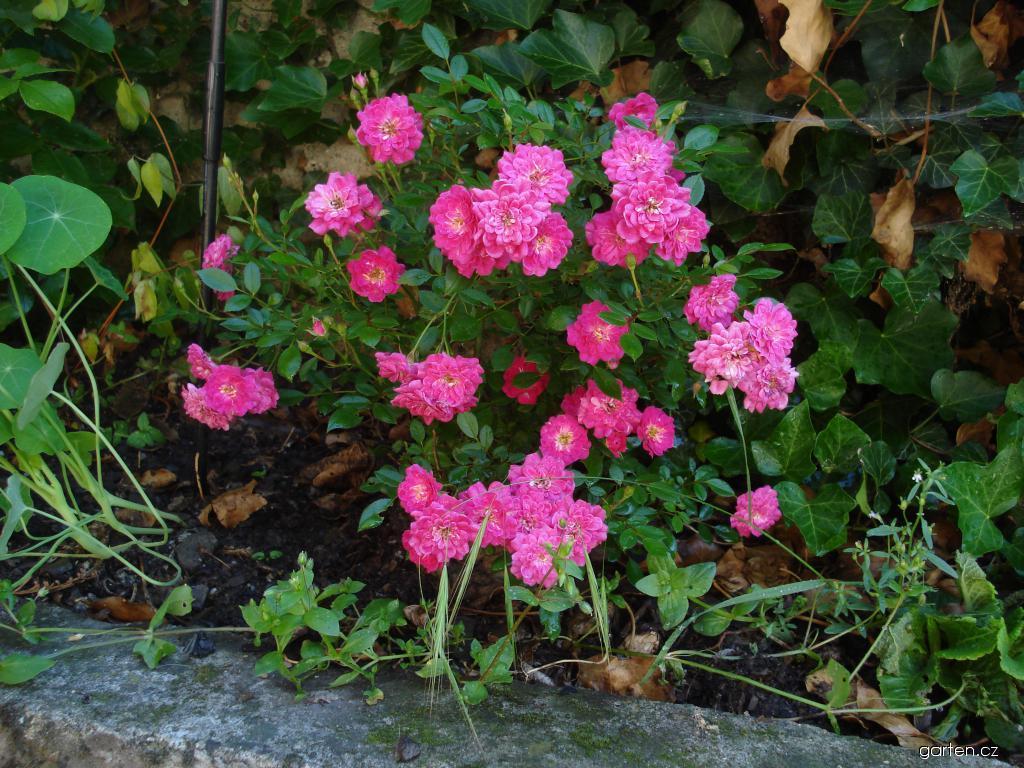 Růže Imola (Rosa)