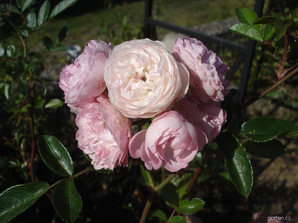Růže Andikó (Rosa)