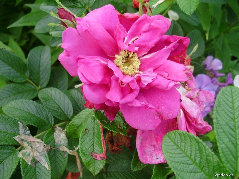Růže svraskalá (Rosa)