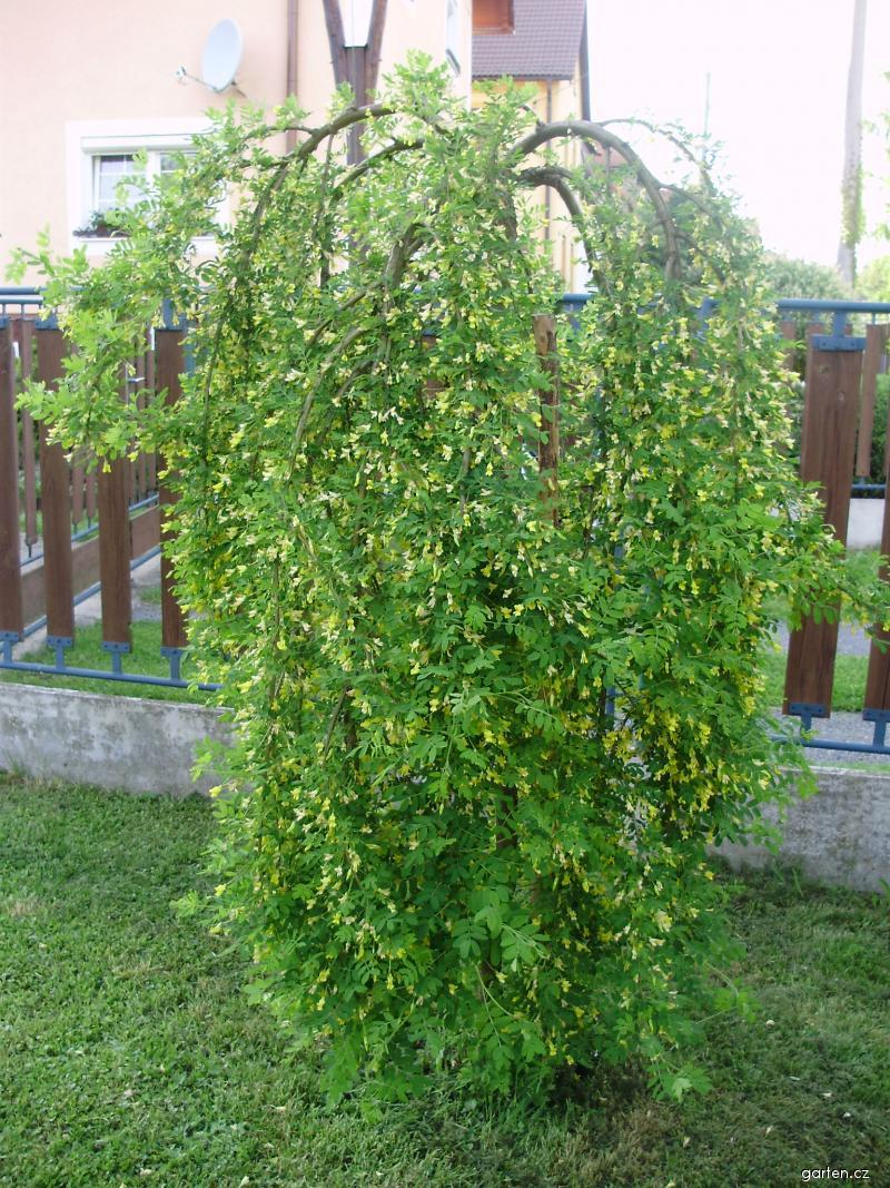 Čimišník (Caragana arborescens)