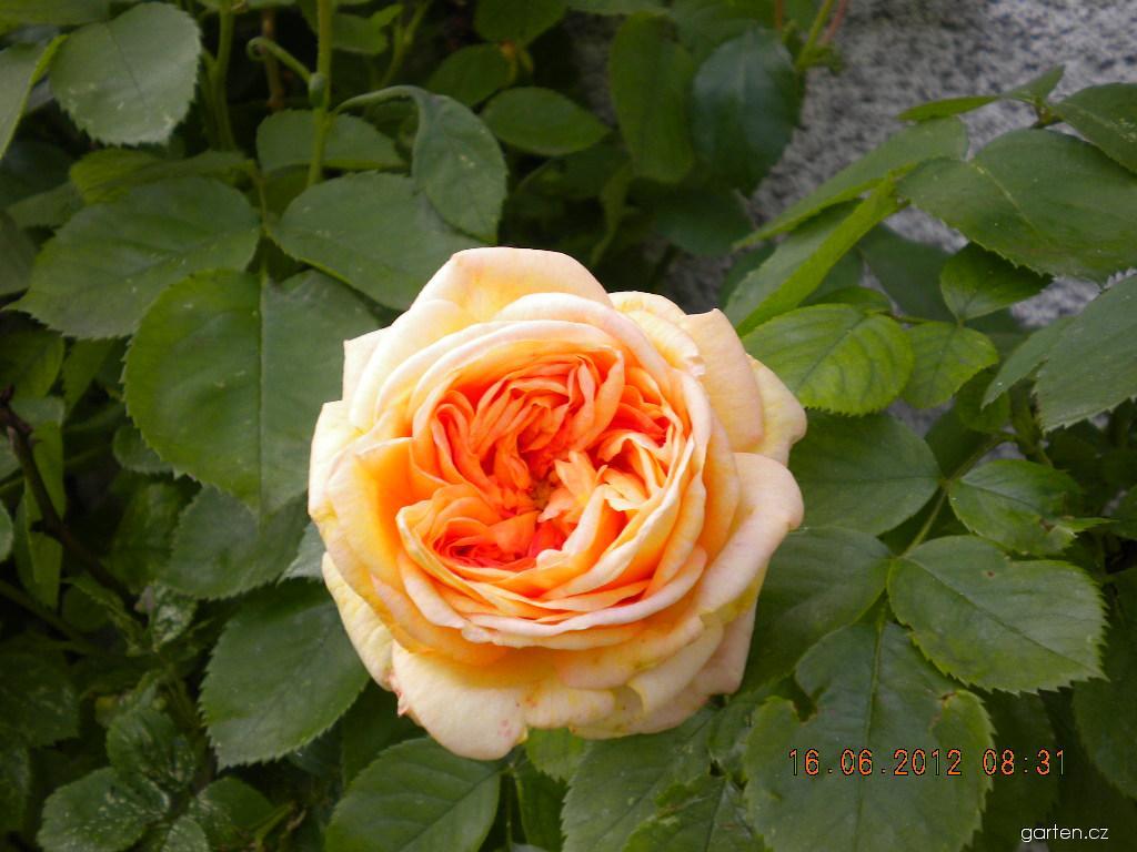 Růže Alchymist - pnoucí (Rosa)