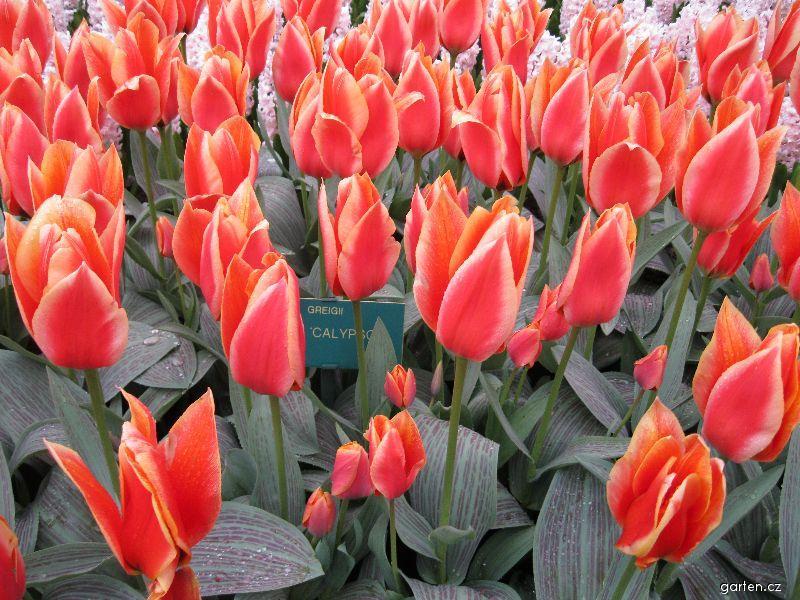 Tulipán Calypso (Tulipa greigii)