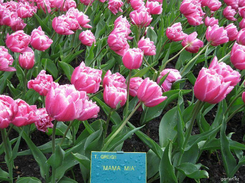 Tulipán - Mama Mia (Tulipa greigii)
