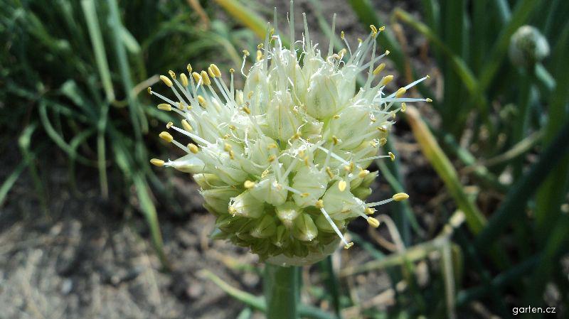 Cibule zimní (Allium fistulosum)