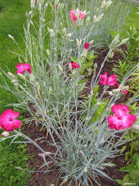 Karafiát zahradní (Dianthus caryophyllus)