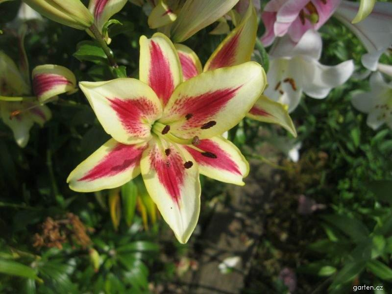 Lilie Sunny Crown - AO hybridy (Lilium x hybridum)