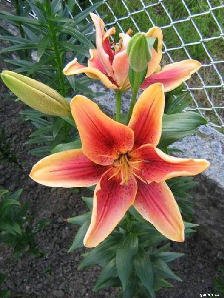 Lilie First Crown - AO hybridy (Lilium x hybridum)