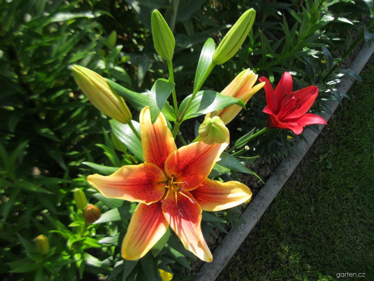 Lilie First Crown - AO hybridy (Lilium x hybridum)
