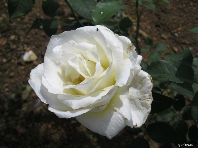 Růže Mt Schasta (Rosa sp)