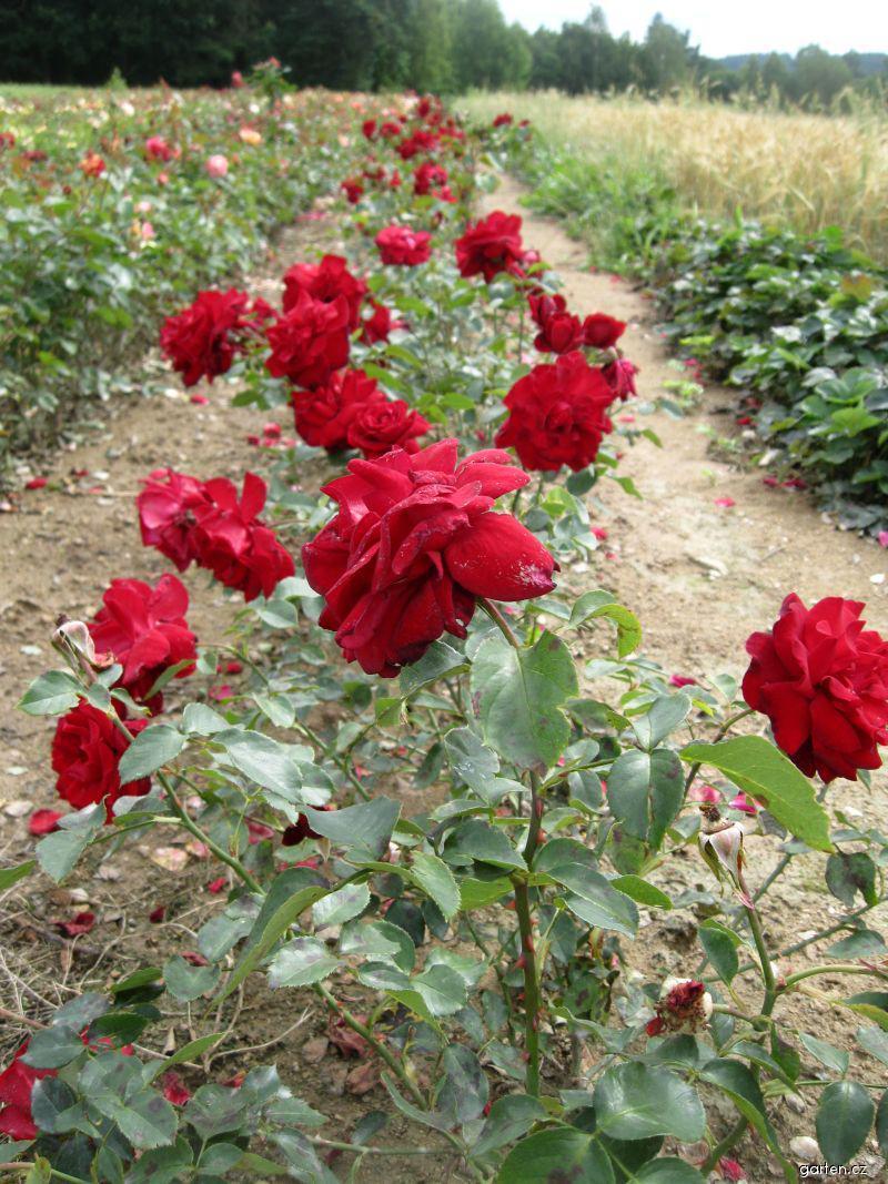 Růže Rouge et Noire (Rosa sp)