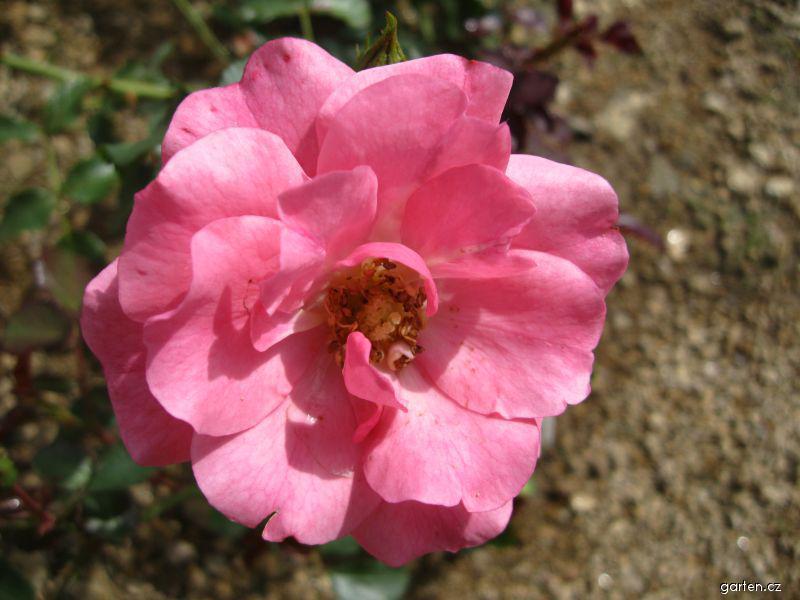 Růže Mirato (Rosa sp)