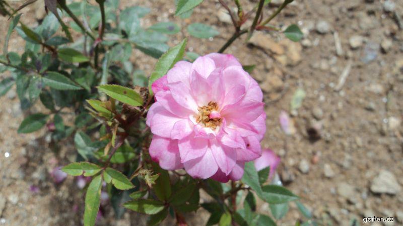 Růže Rosa Rouleti (Rosa sp)