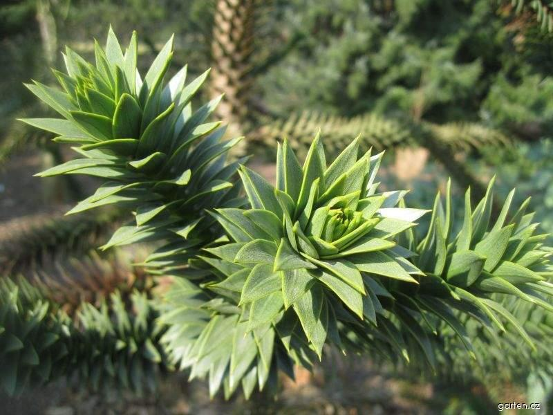 Blahočet chilský (Araucaria araucana)