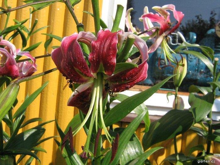 Lilie - Black Beauty, OT hybrid (Lilium x hybridum)