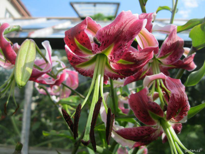Lilie - Black Beauty, OT hybird (Lilium x hybridum)