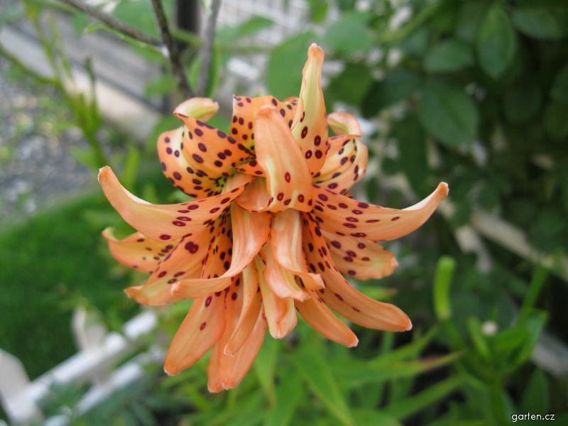Lilie Tigrinum Flore Pleno - Botanická lilie (Lilium x hybridum)