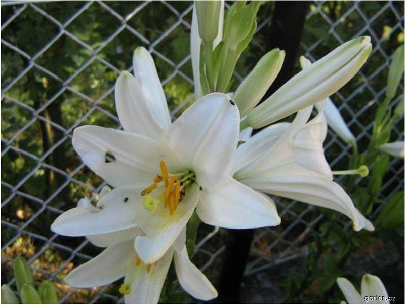 Kostelní lilie - Botanická lilie (Lilium candidum)