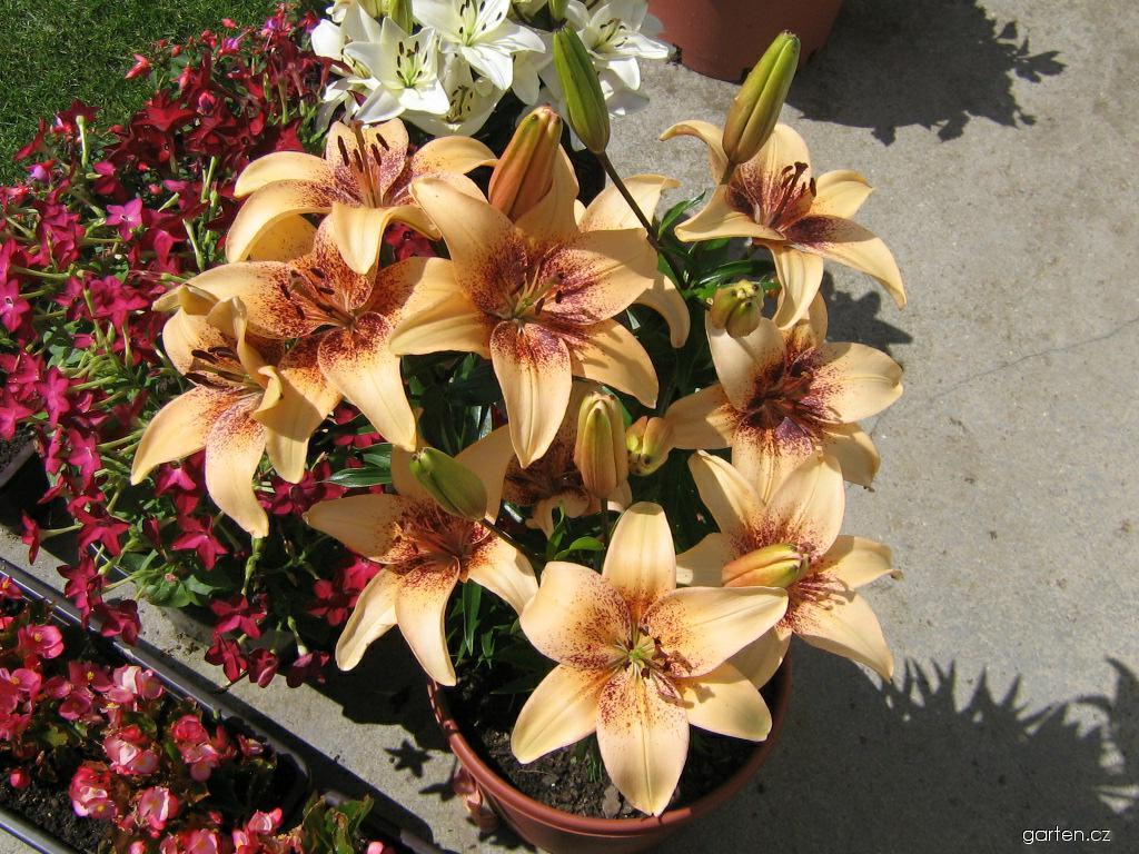 Lilie - 4 You - Asijský nízký hybrid (Lilium x hybridum)