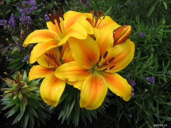 Lilie Golden Joy - Asijský nízký hybrid (Lilium x hybridum)