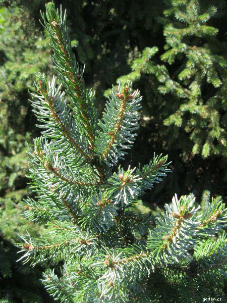 Smrk omorika (Picea omorica)
