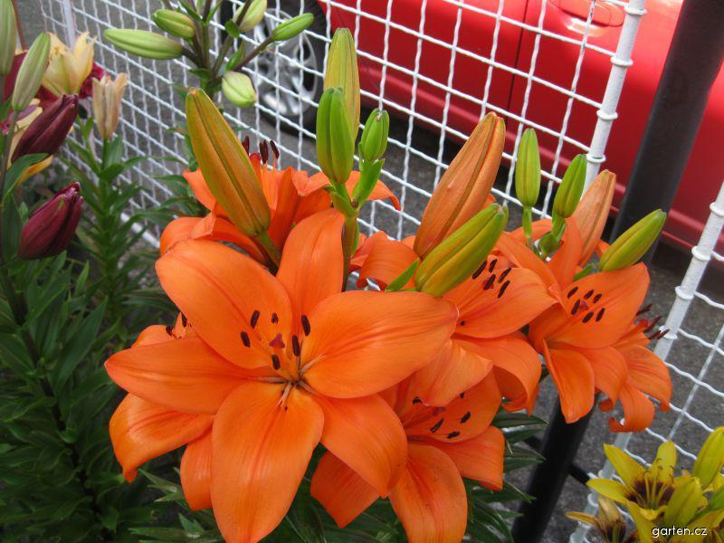 Lilie Bursa - Asijské hybridy (Lilium x hybridum)