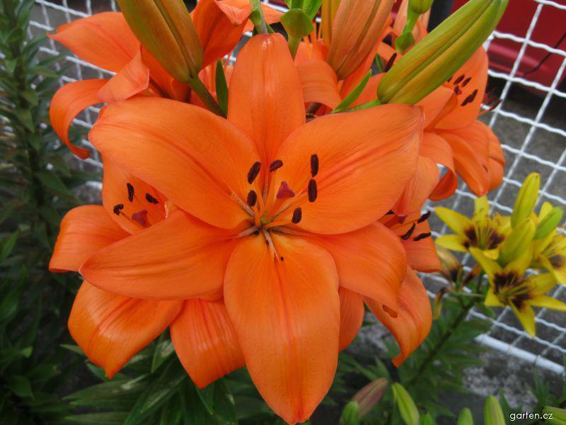 Lilie Bursa - Asijský hybrid (Lilium x hybridum)