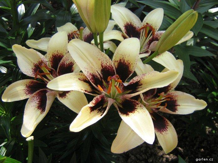 Lilie Black Spider - Asijský hybrid (Lilium x hybridum)