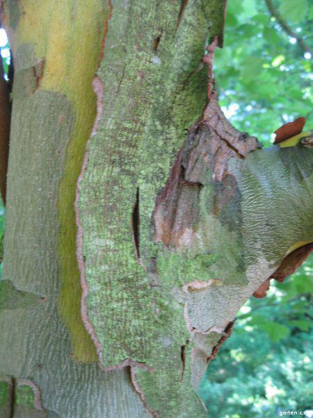 Platan západní - borka (Platanus occidentalis)