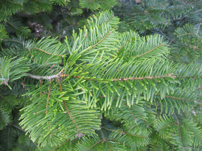 Jedle obrovská (Abies grandis)