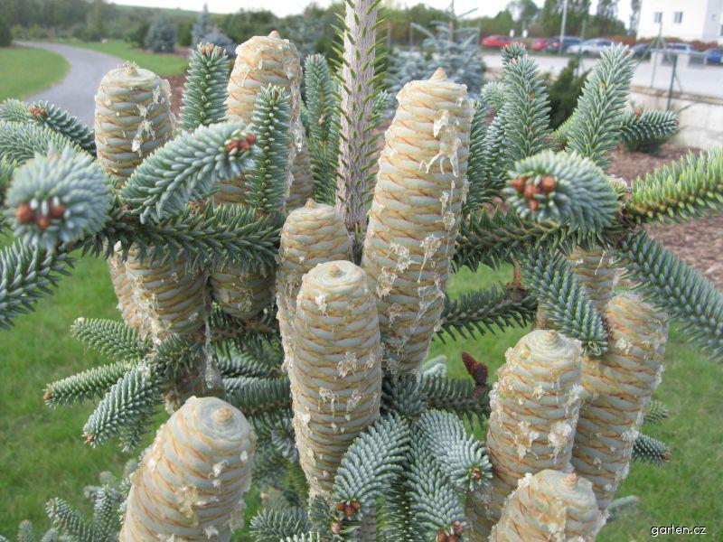 Jedle španělská Glauca (Abies pinsapo)
