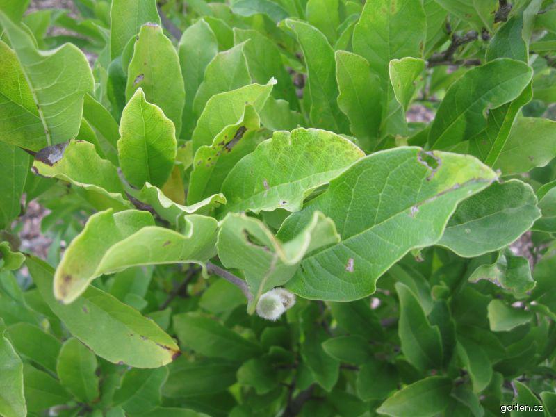 Šácholan hvězdovitý - listy (Magnolia stellata)