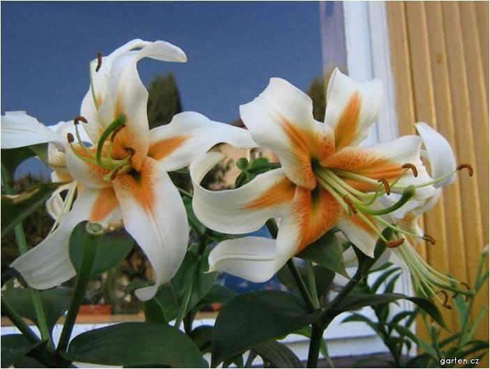 Lilie Aubade - Orientální hybridy (Lilium x hybridum)