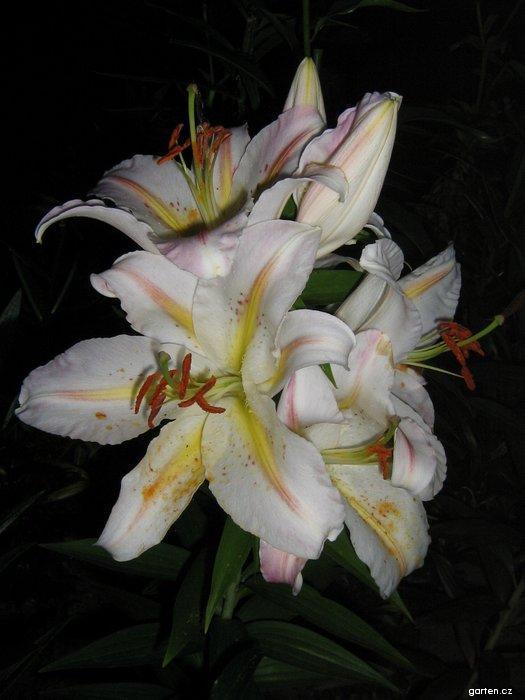 Lilie Bergamo - Orientální hybridy (Lilium x hybridum)