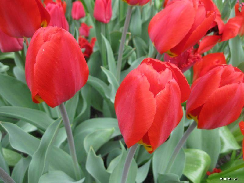 Tulipán Red Revival (Tulipa x hybrida)
