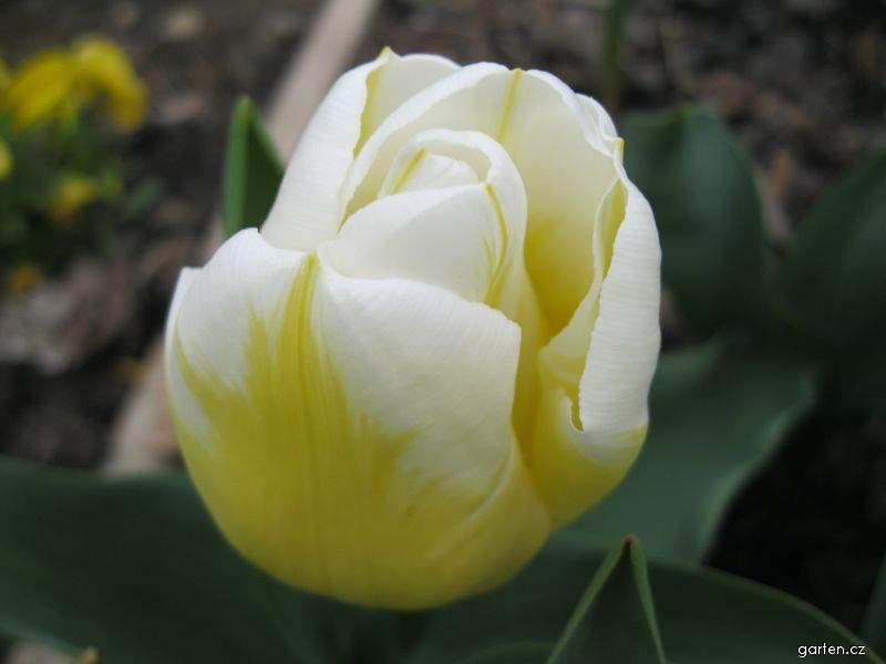 Tulipán Calgary Flame (Tulipa x hybrida)