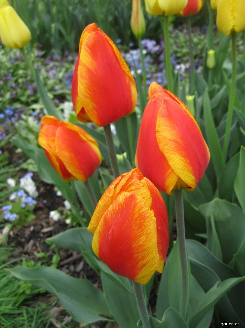 Tulipán Flair (Tulipa x hybrida)