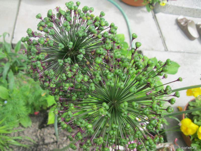 Česnek aflatunský (Allium aflatunense)