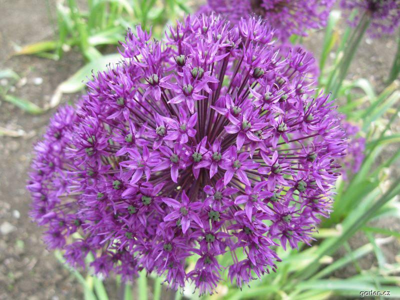 Česnek aflatunský Purple Sensation (Allium aflatunense)