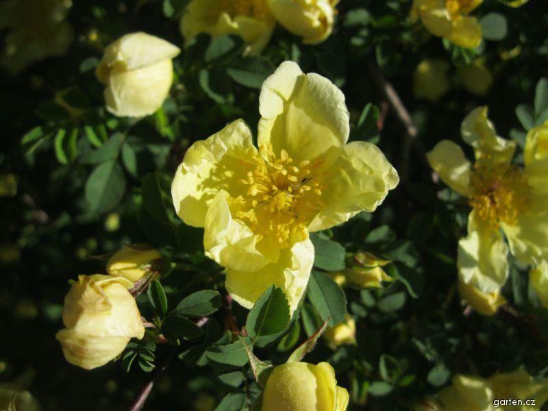 Růže páchnoucí (Rosa foetida)